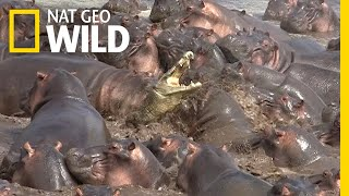 Watch What Happens When a Crocodile Walks Into a Herd of Hippos   Nat Geo Wild