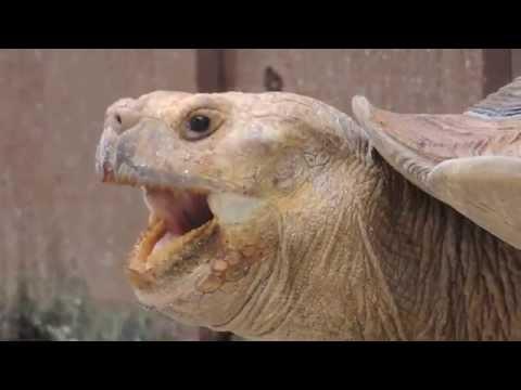 Giant Tortoise yawning