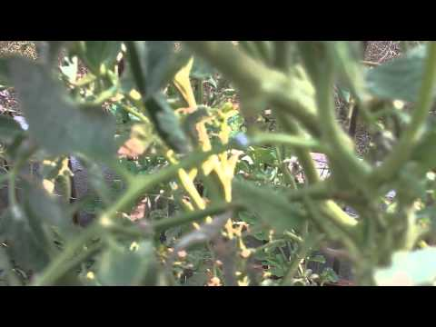 Mealy Bugs Organic Pesticide Alternatives For Tomato Plants