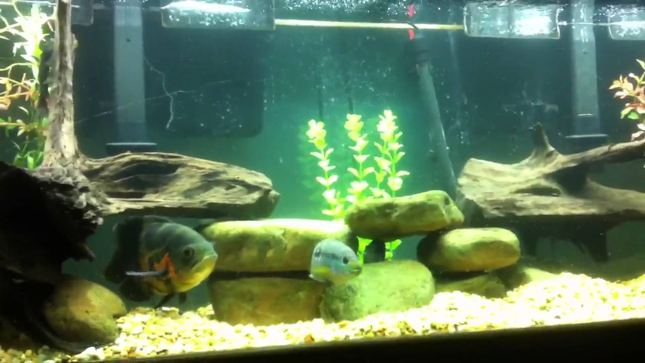 South American Cichlid Aquarium Update 2 Youtube