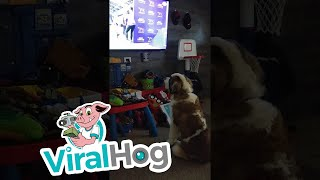 Saint Bernard Loves Competition  || ViralHog