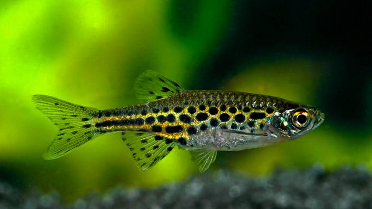 Displaying 19> Images For - Giant Danios...