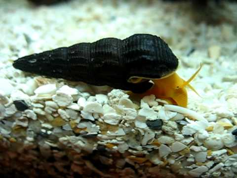 Orange rabbit (Tylomelania sp.) sulawesi snail funny crawl