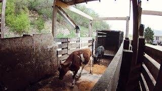 Selling two Holstein Feeder Calves