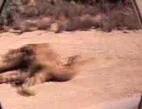 Camel Carnage