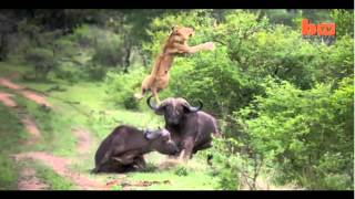 Búfalo vs León / Buffalo vs Lion (Epic fight)