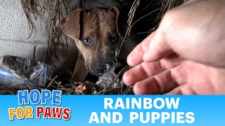 Homeless Pit Bull gives birth in a den during a massive rainstorm.  SO MANY PUPPIES!!!