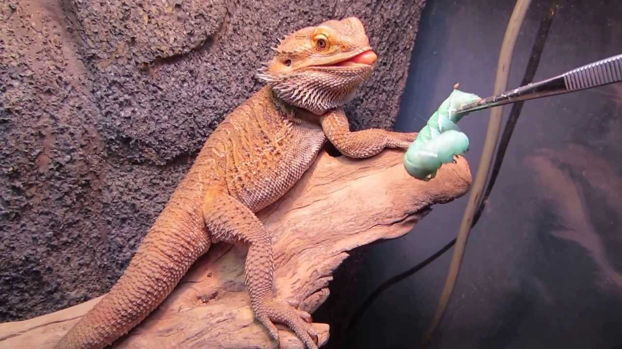 Bearded Dragon Diet Food amp Nutrition Guide