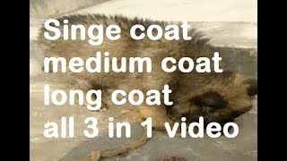 single coat, medium coat and long coat gsd puppy all 3 in 1 video