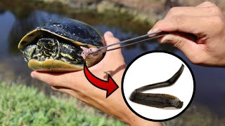 SAVING WILD TURTLES! BITTIN By BLOOD-SUCKING LEECHES!