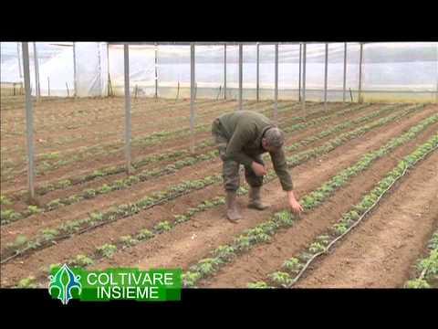 Coltivare insieme 4 - La coltivazione del pomodoro in struttura protetta, in provincia di Firenze