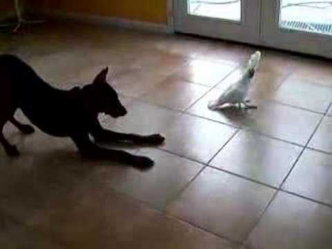 Cockatoo Charlie And My Dog - Funny (Original Video)