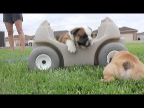Cutest English Bulldog Puppies EVER