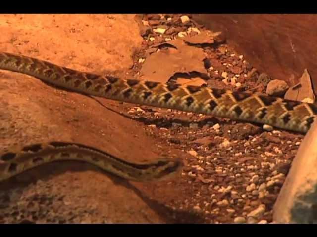Nacen víboras de cascabel en Xalapa