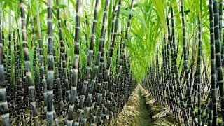 Agriculture Technology -  Sugar Cane Cultivation - Sugar Cane Farming and Harvesting, processing