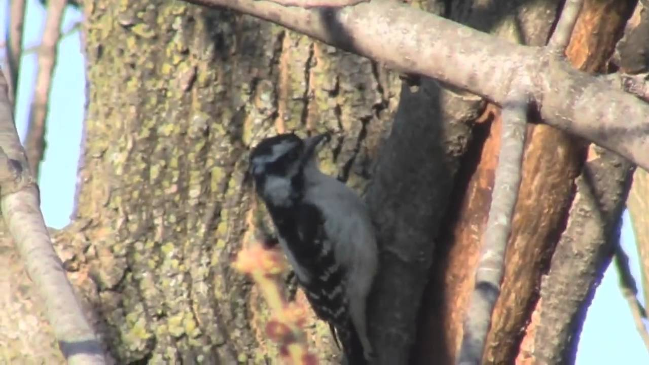 Downy Woodpecker Drumming Downy Woodpecker Drumming in