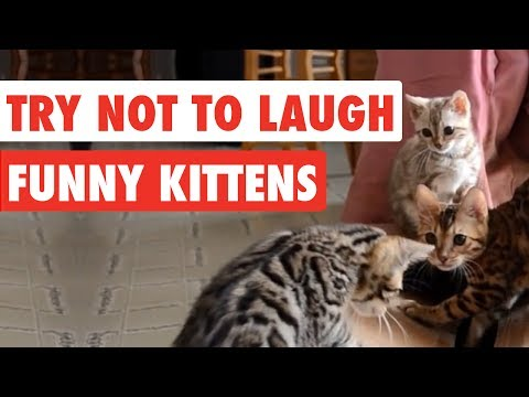 Try Not To Laugh | Funny Kittens Video Compilation 2017