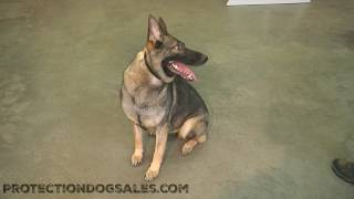 "Obedience/Tricks Super Star German Shepherd Fun Loving Amazing Young Dog ""Gabi"" For Sale"
