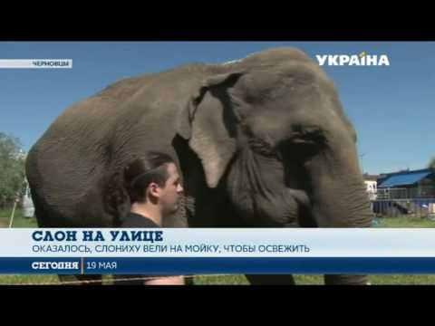 По улицам Черновцов расхаживает слон