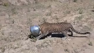 Raw: Thirsty Leopard Jams Head into Pot
