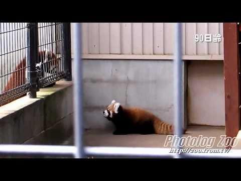 Red Panda 2010 レッサーパンダの赤ちゃん・アクア@市川Zoo