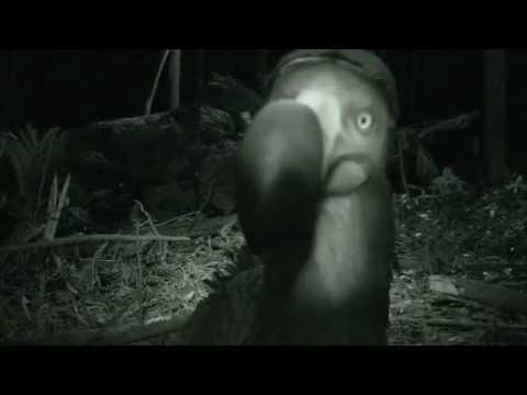 Vidéo : alors, le dodo, toujours vivant ?