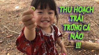 Thu Hoạch Trái Trứng Cá -  Hoa Chanh TV - Harvest  Muntingia calabura