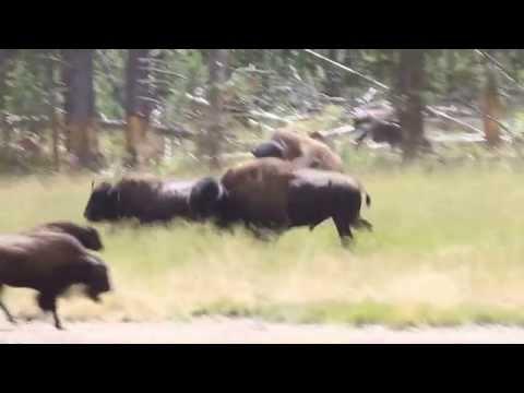 Bison Running - Yellowstone