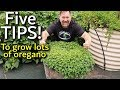 5 Tips How To Grow A Ton Of Oregano In Containers mp3