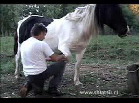 Shiatsu Equino, Shiatsu for horses, Equine Shiatsu CURSOS