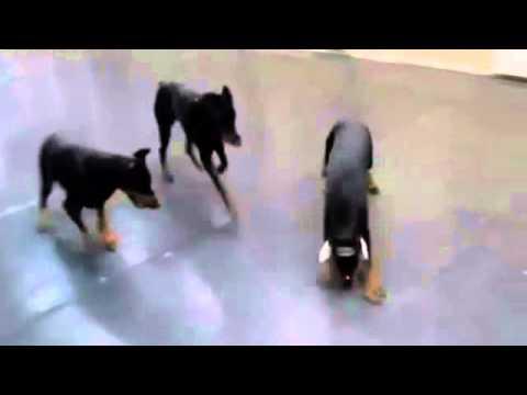 Собаки бегают за лазером