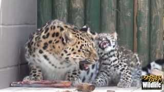 WHF Amur Leopard Cubs 2012 -- 10 weeks old and growing up fast!