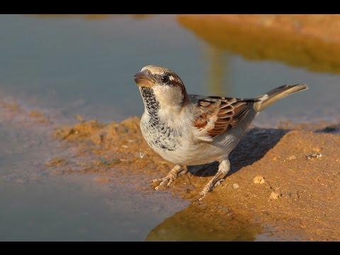 House Sparrow (Passer domesticus) Σπουργιτης - Στρούθος - Cyprus