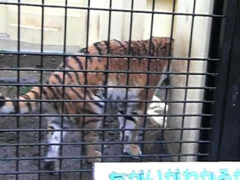 2011年4月23日 釧路市動物園 アムールトラのココア