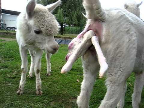 Alpaka Geburt