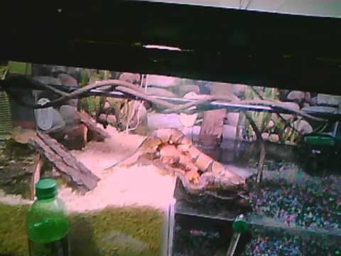 BALL PYTHON cage tank water land 50/50