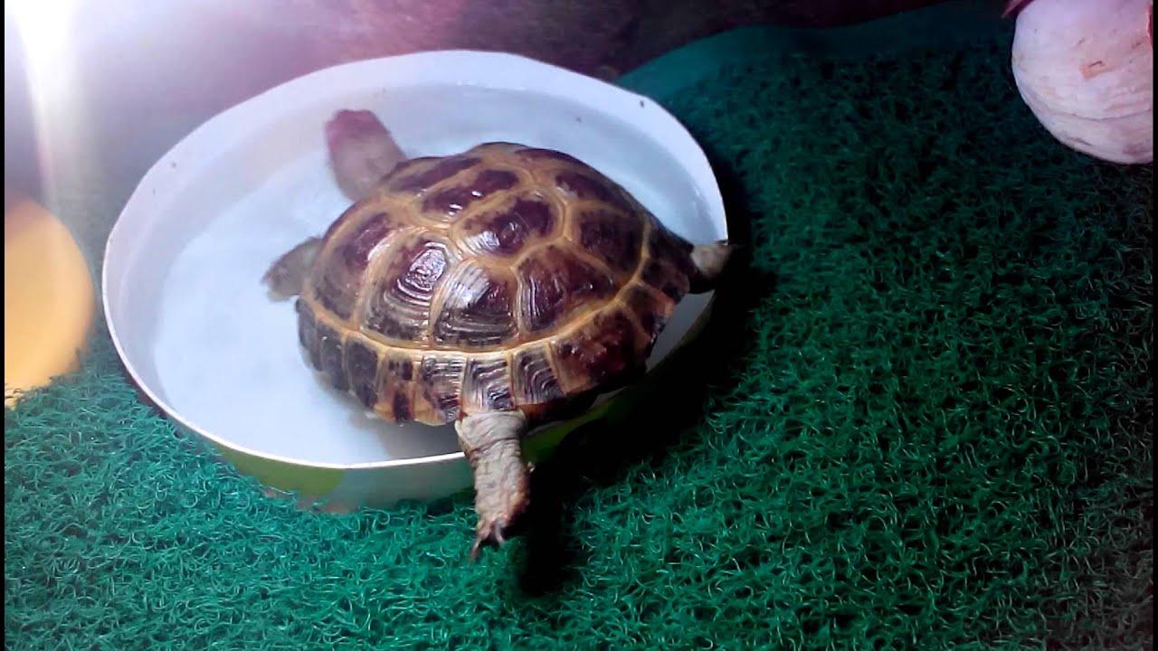 Про сухопутную черепаху в домашних условиях 291