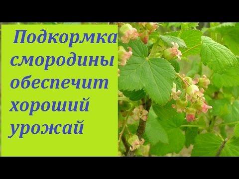 193. Смородина. Главная подкормка в период цветения.