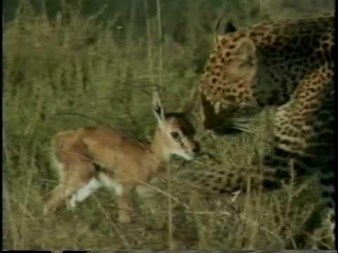 Predadores selvagens - Ataque ao filhote de gazela.avi