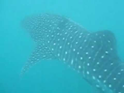 Coral Cay Conservation volunteer, encounters a Whale shark whilst on expedition in the Philippines.