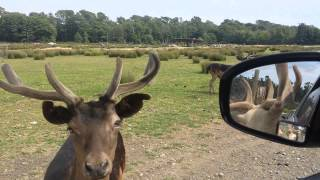 Feeding animals at a drive-through game farm