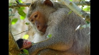 Newborn Monkey-Mom Monkey Angry so Pity Cos Flies. MV 0124