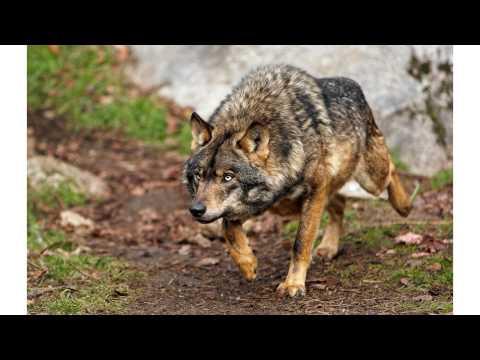 El Mast ín Español y el Lobo