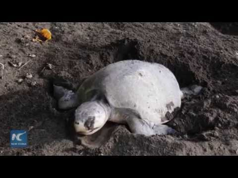 Quarter million of Olive Ridley turtles lay eggs on Pacific beach of Costa Rica