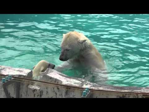 2011年6月4日 円山動物園 ホッキョクグマの水泳教室
