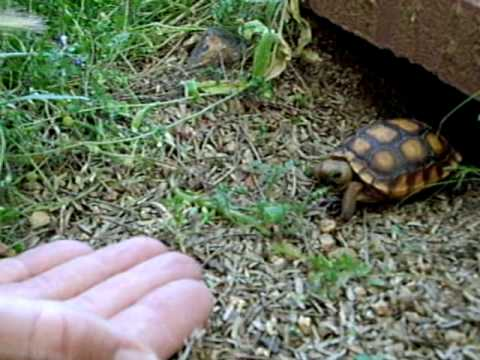 Thumb Tiny turtle comes when somebody calls its name