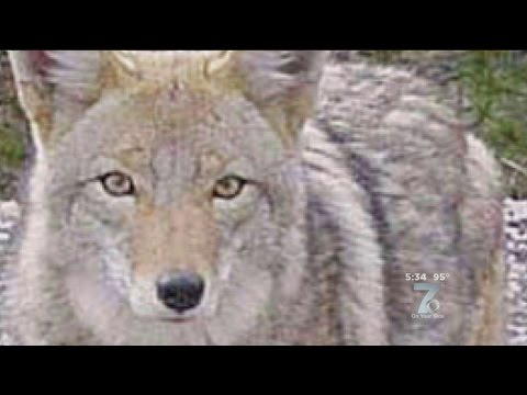 Woman Suspects Coyote Killed Dog Youtube :: VideoLike