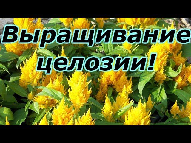 ЦЕЛОЗИЯ ГРЕБЕНЧАТАЯ-ПРОВОДИМ ПИКИРОВКУ РАССАДЫ!