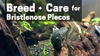 HOW TO BREED + CARE FOR BRISTLENOSE PLECOS (Catfish)