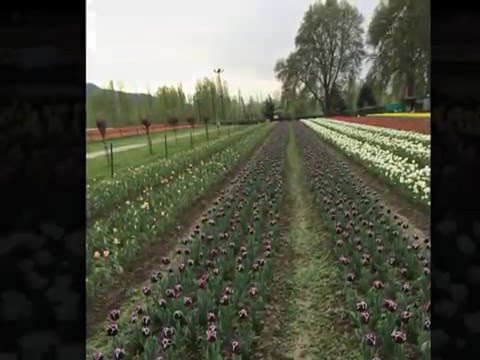 Srinagar Tulip Garden - April 2015